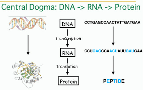 what is the central dogma